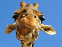 Muursticker, giraf,