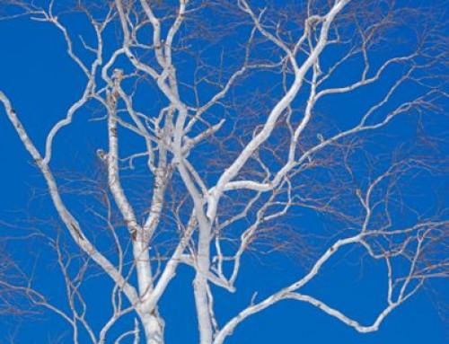 Muursticker, witte boom, blauwe lucht
